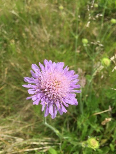 The Flora and Fauna of Seapoint Golf Links - Knautia Arvensis or common name Field Scabius