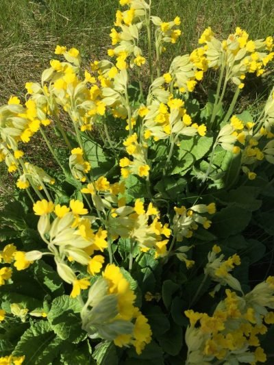 The Flora and Fauna of Seapoint Golf Links -Primula Veria or common name Cowslip