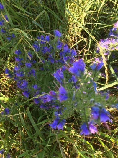 The Flora and Fauna of Seapoint Golf Links - Echium Vilgares or Vipers Bugloss.