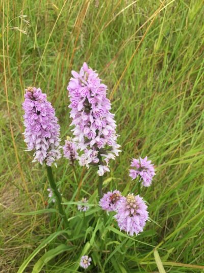 The Flora and Fauna of Seapoint Golf Links - Close up of Pyramidal Orchid